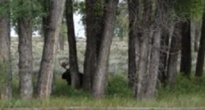 Moose_9-11-13-GrosVentre