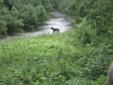 Grizzly looking for lunch Fish Creek Hyder, AK