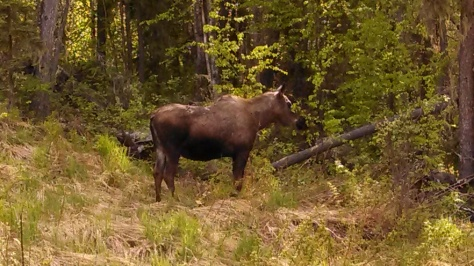 Moose between Tok and Fairbanks