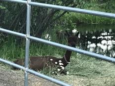 Cousie (Koozie?) Alpaca at BayfieldRiversideRV